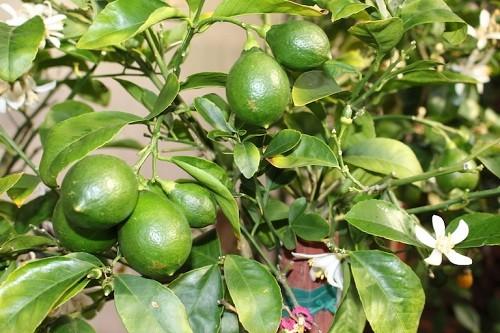 1396986174 citrus plant JPG 4159 1470051417 1