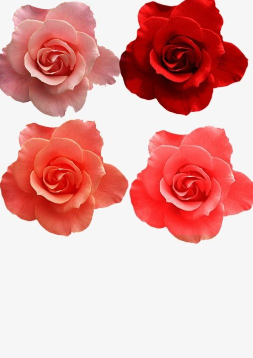 pngtree various colors of roses png clipart 843773
