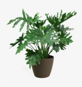 92 926834 philodendron selloum medium philodendron png