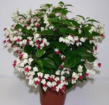 Cay hoa ngoc nu 2