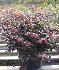 Trồng cây hồng phụng 21 vuonhongvanloan.com
