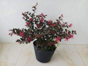 Trồng cây hồng phụng 9 vuonhongvanloan.com  569x427 1