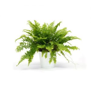 boston fern plant 500x500 1