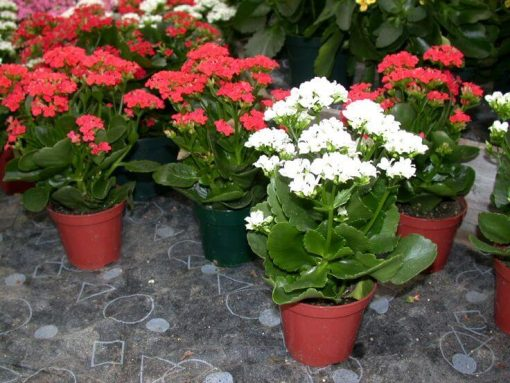 cach trong cay song doi kalanchoe plant 1516797692 415 width736height552