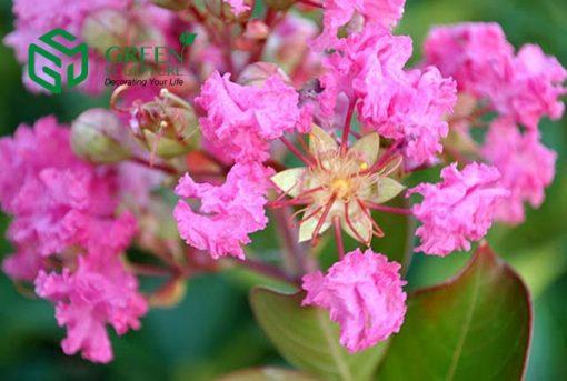 cay hoa tuong vi 4a