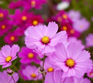 hat giong hoa sao nhai don 600x535 1