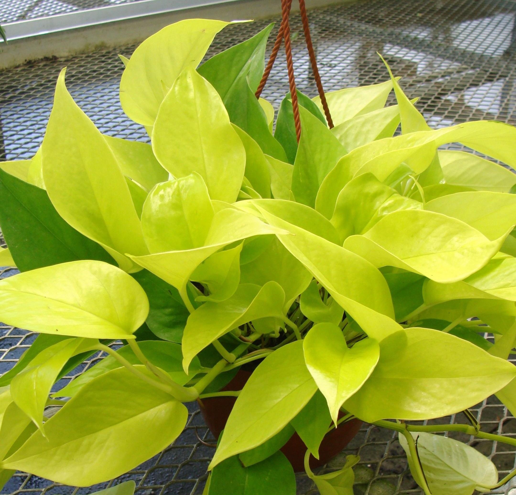 Cây Trầu bà thái vàng - Green Sculpture