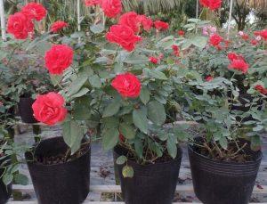 hoa hong nhung 1 2