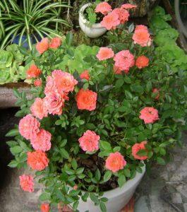 hoa hong phap