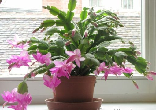 hoa lan cua