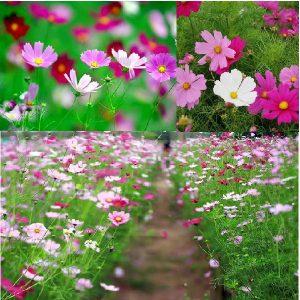 vuon hoa sao nhai
