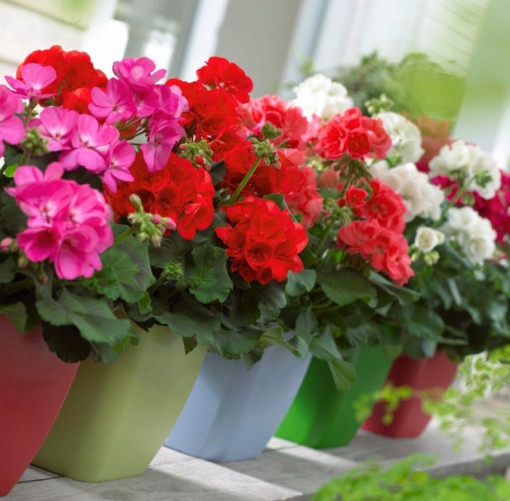 hoa-phong-lu