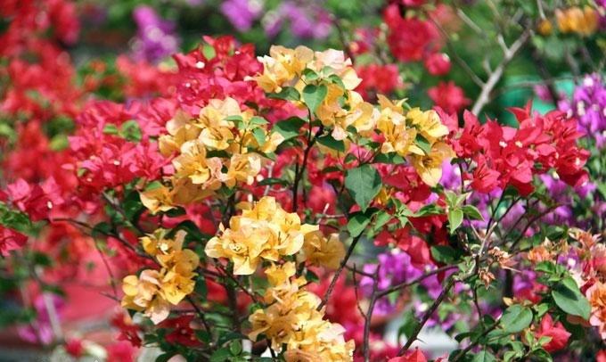 cay hoa Giay 4
