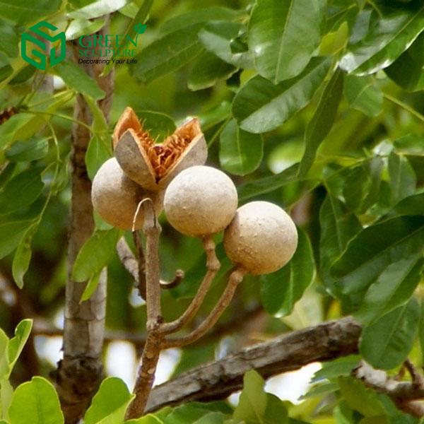 nurserylive khaya senegalensis plant