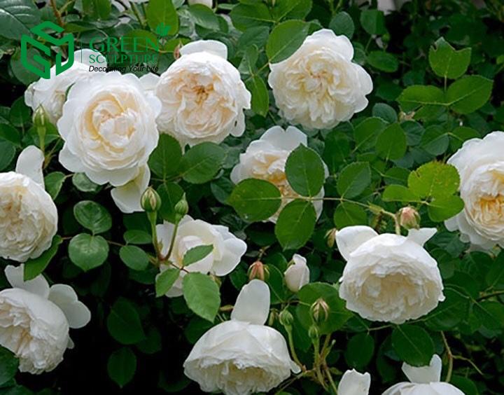 Hoa hồng loại cây vừa làm cảnh trang trí vừa có tác dung chữa bệnh