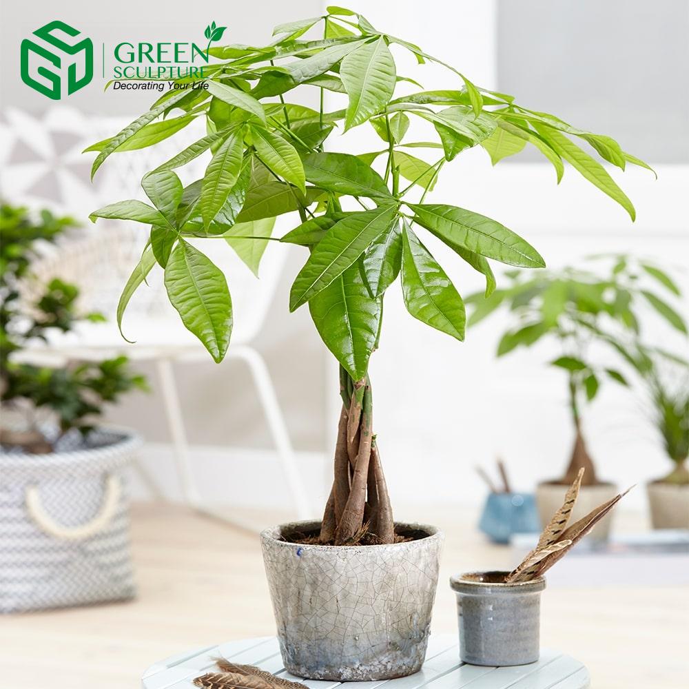 Cây Kim Ngân là cây phong thủy được nhiều người lựa chọn nhất cho cung Song Tử