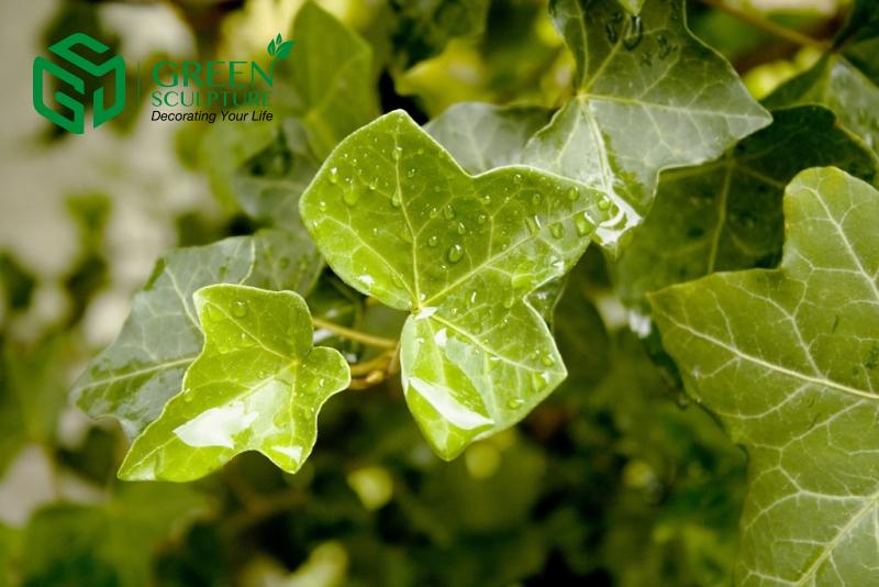 Tác dụng chữa bệnh 'thần kì' của dược liệu cây Thường xuân Tác dụng chữa bệnh 'thần kì' của dược liệu cây Thường xuân