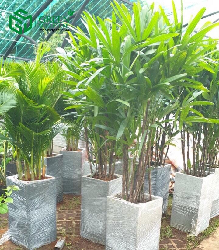Tham khảo thêm cây Trúc mây để chọn mua cây cảnh cho Bảo Bình nhé