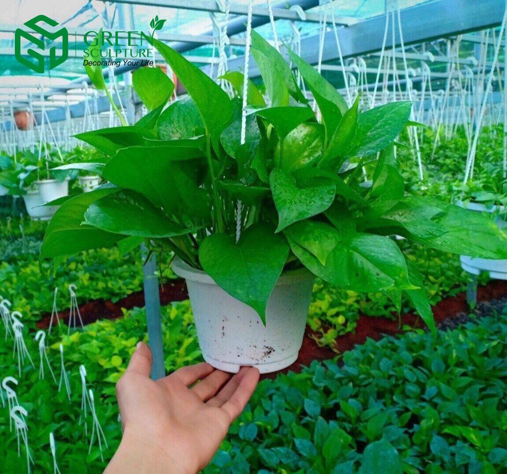 Trầu bà là loại cây được sử dụng nhiều nhất khi trồng vườn tường xanh