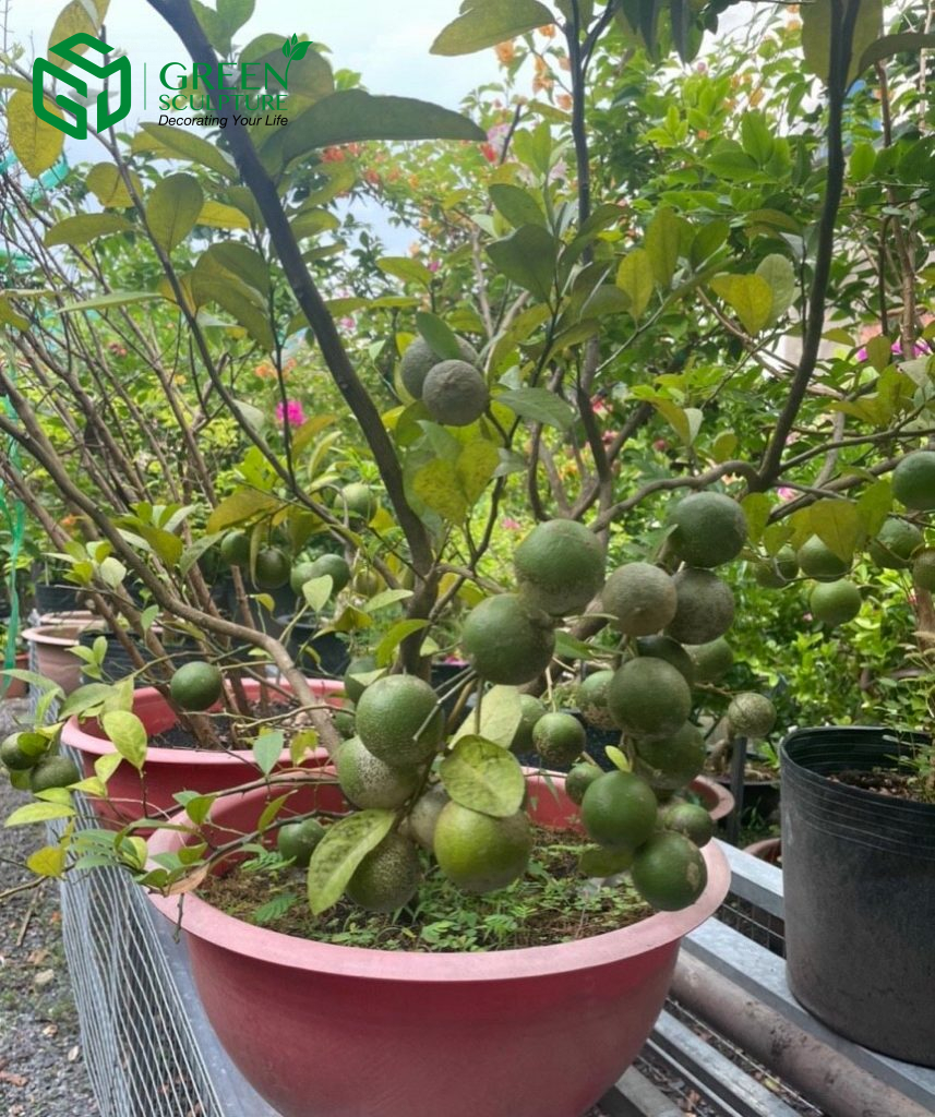 Cây Chanh trồng chậu được sử dụng trong cuộc sống hằng ngày chúng ta