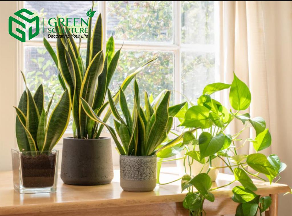 Cây thật có tác dụng thanh lọc không khí tốt, điều hòa lượng oxy trong nhà giúp bảo vệ sức khỏe cho gia chủ